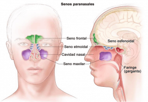 Anatomía de los senos paranasales