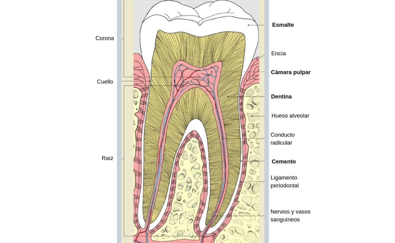 diagrama de diente o muela periodoncia e implantes monterrey